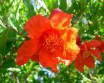 Il fiore del melagrano